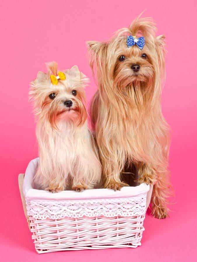 Perra de la muchacha de dos perritos y varón del muchacho foto de archivo libre de regalías