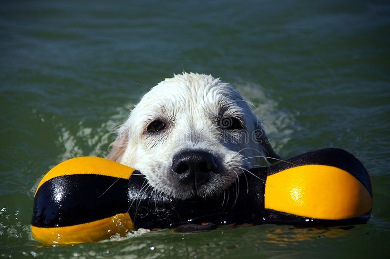 Perrito 4 del perro perdiguero de oro fotografía de archivo libre de regalías