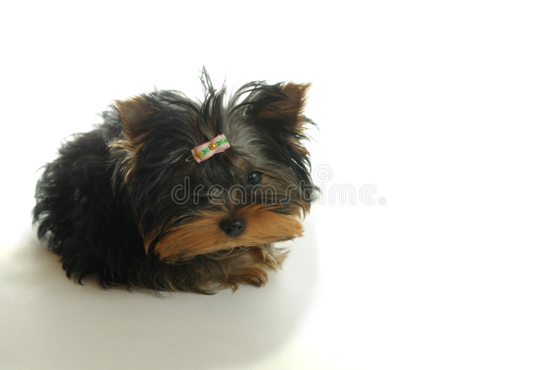 Download Perrito imagen de archivo. Imagen de animales, pequeño - 7283415