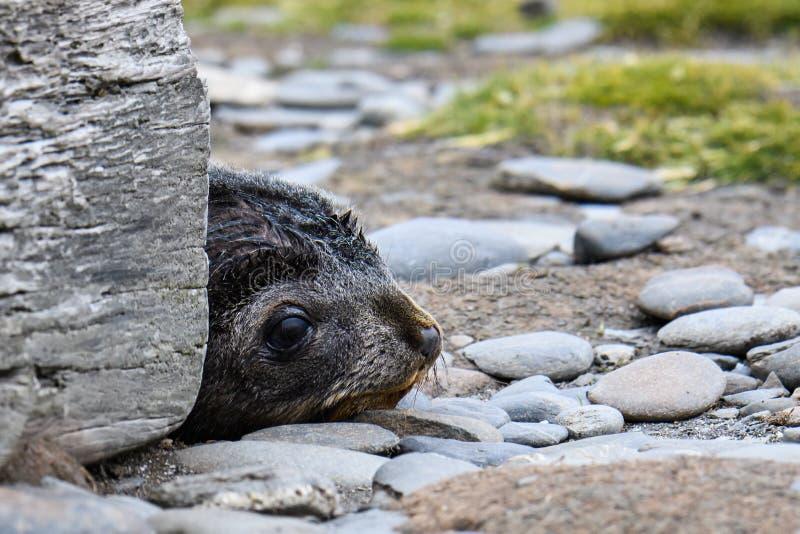 Perrito adorable del lobo marino con la cabeza que mira a escondidas hacia fuera de detrás un bloque de madera en el llano de Sal fotos de archivo