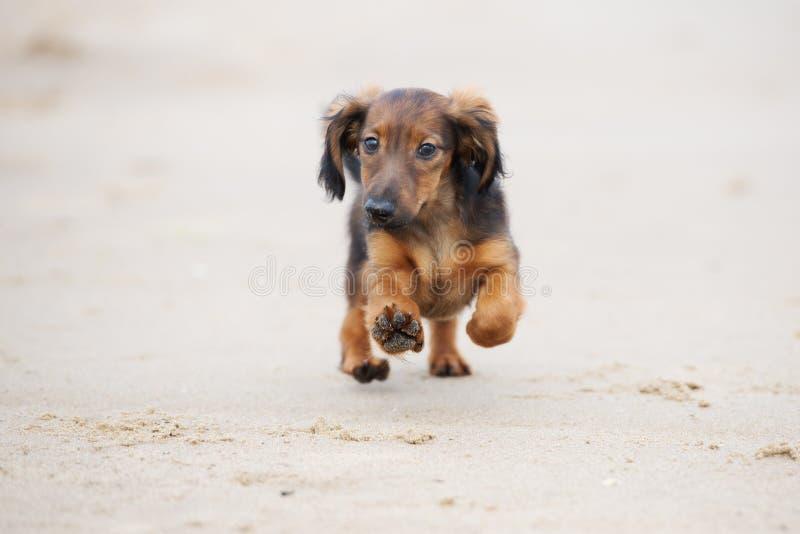 Perrito adorable del perro basset que corre en la playa fotografía de archivo