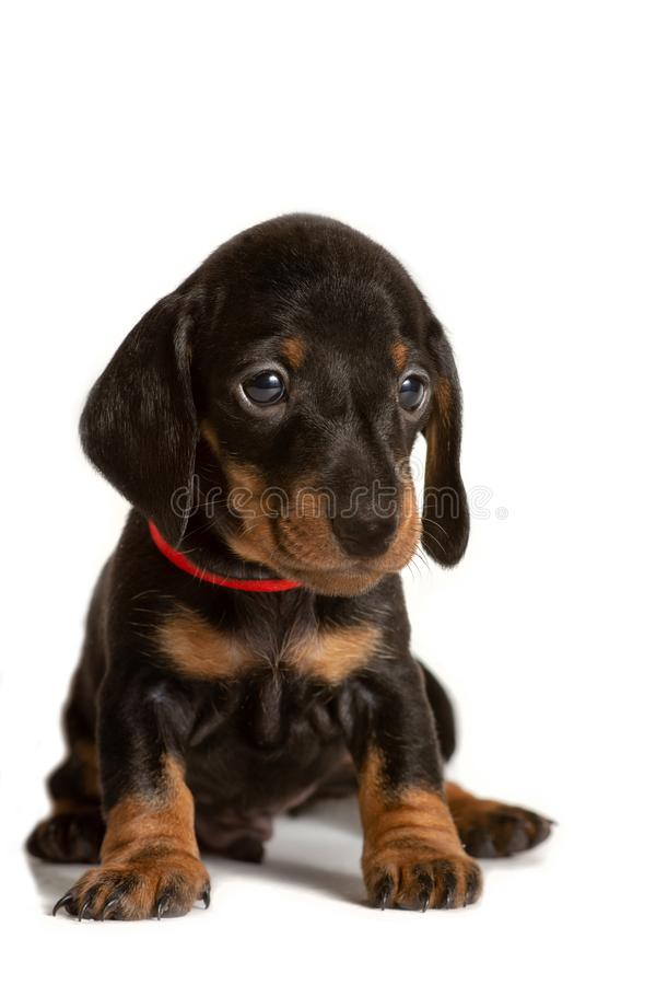 Perrito adorable del perro basset que se sienta aislado en el fondo blanco imagenes de archivo