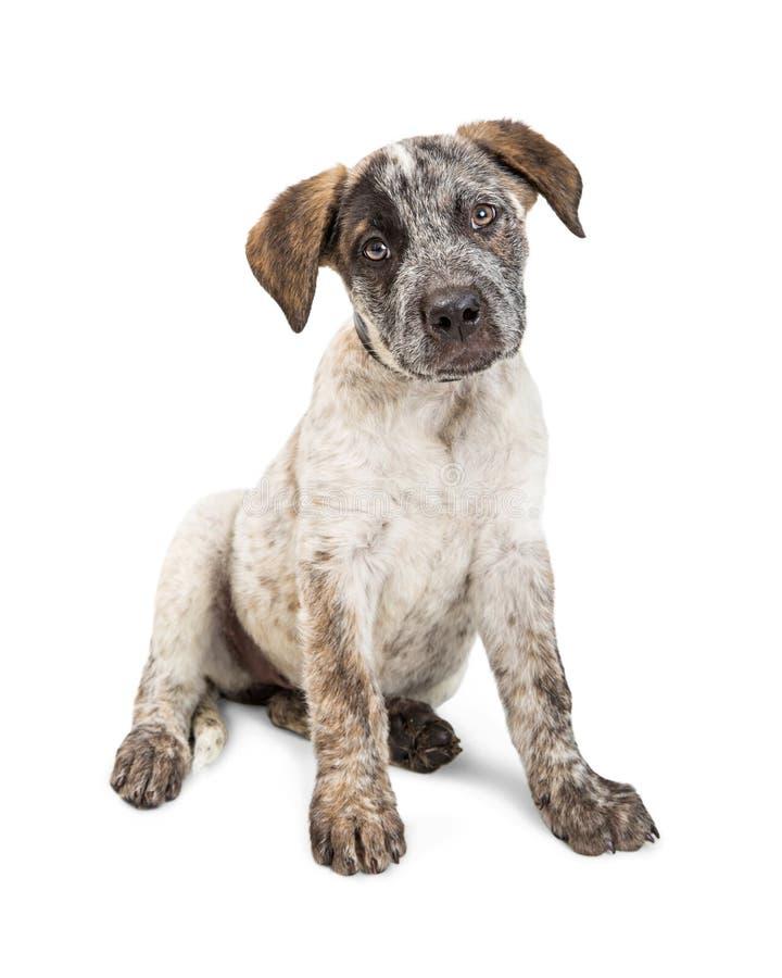 Perrito adorable del perro del ganado que se sienta en blanco imagen de archivo libre de regalías