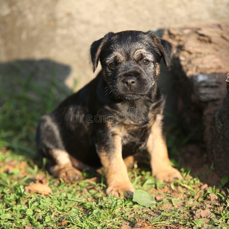 Perrito agradable del terrier de frontera fotografía de archivo