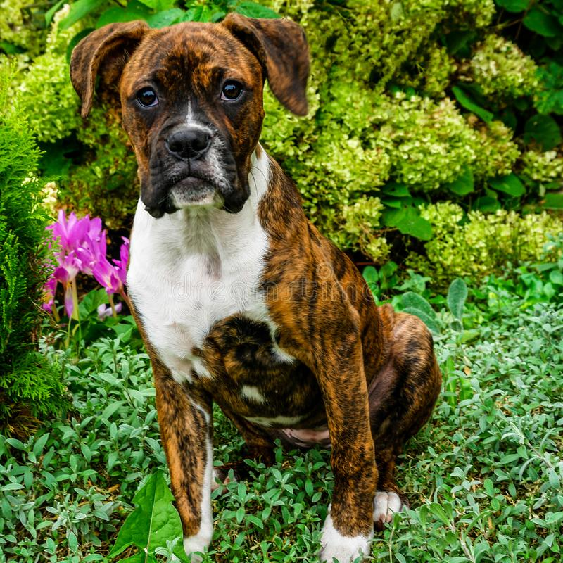 Perrito alemán del boxeador foto de archivo