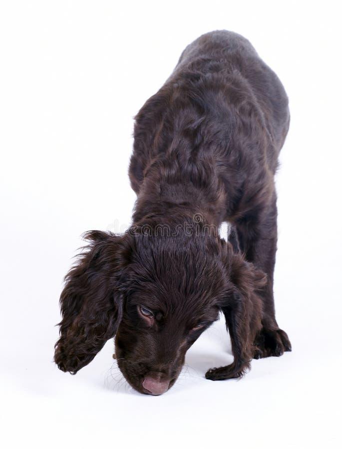 Perrito alemán del perro del wachtel, 9 semanas de viejo fotografía de archivo