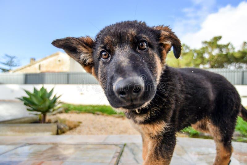 Perrito alemán del shepard imagenes de archivo