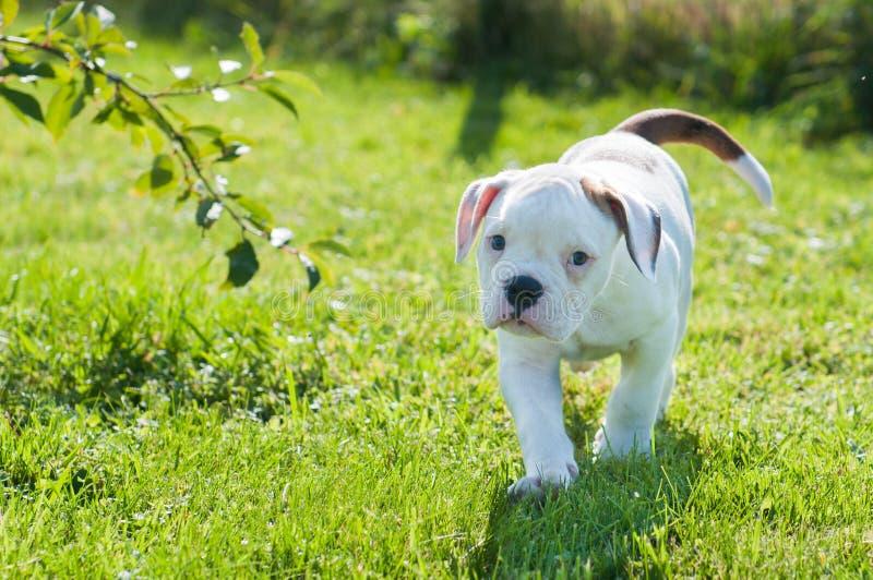 Perrito americano del dogo en la naturaleza imagen de archivo