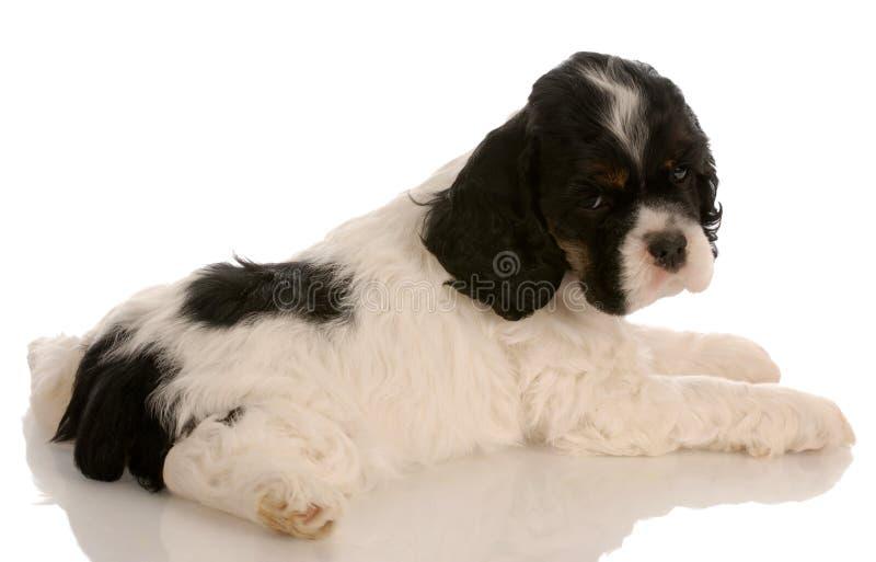 Perrito americano del perro de aguas de cocker imagen de archivo