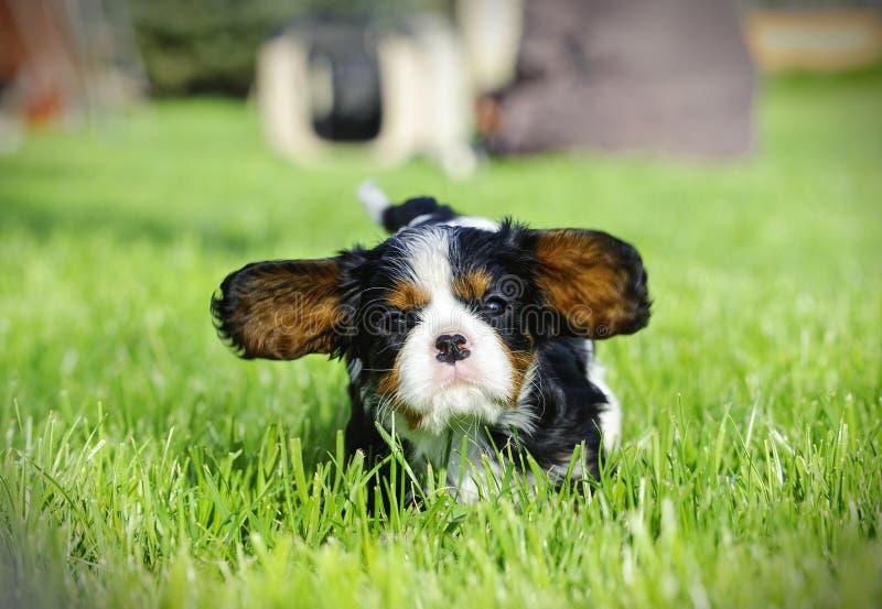 Perrito arrogante del perro de aguas de rey Charles foto de archivo libre de regalías