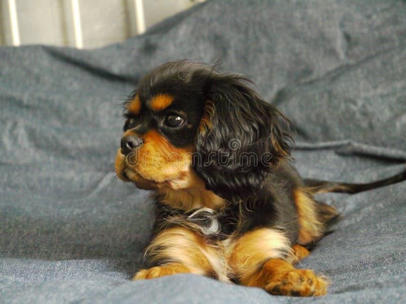 Perrito arrogante del perro de aguas de rey Charles en cama fotos de archivo