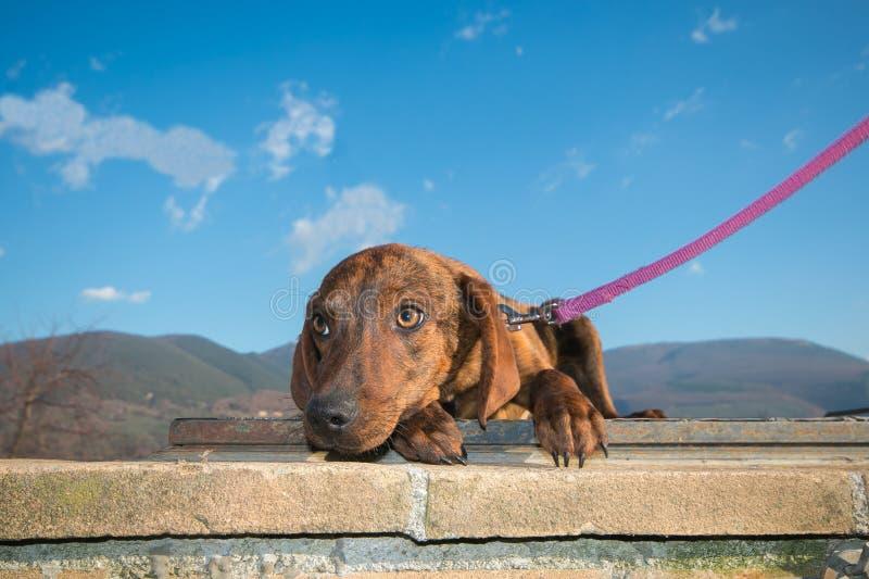 Perrito asustado del perro de Segugio Maremmano contra el cielo azul imagen de archivo libre de regalías