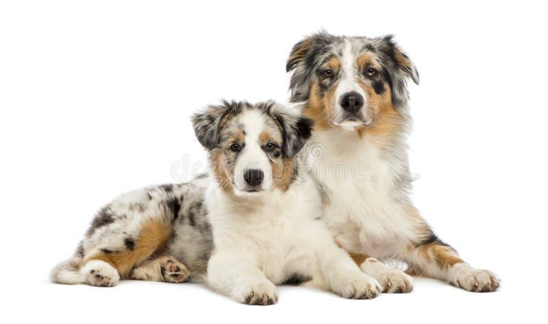 Perrito australiano del pastor, 3 meses, mintiendo imágenes de archivo libres de regalías