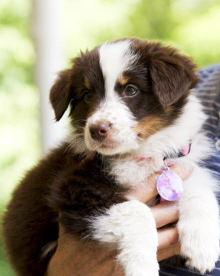 Perrito australiano del pastor fotografía de archivo