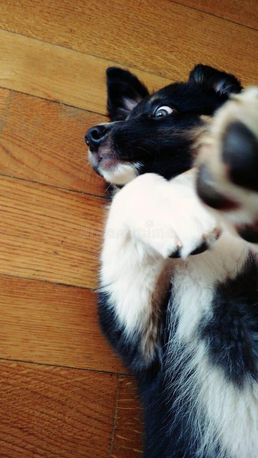 Perrito australiano del pastor imagen de archivo libre de regalías