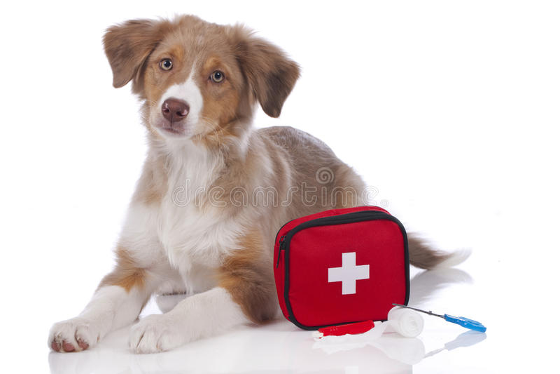 Perrito australiano del pastor con el equipo de primeros auxilios foto de archivo libre de regalías