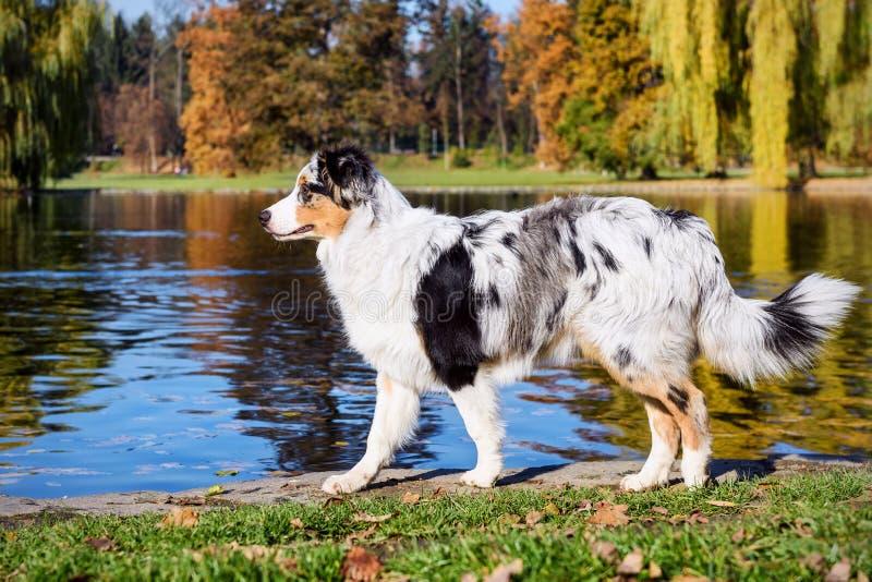 Perrito australiano del pastor en a orillas del lago imágenes de archivo libres de regalías