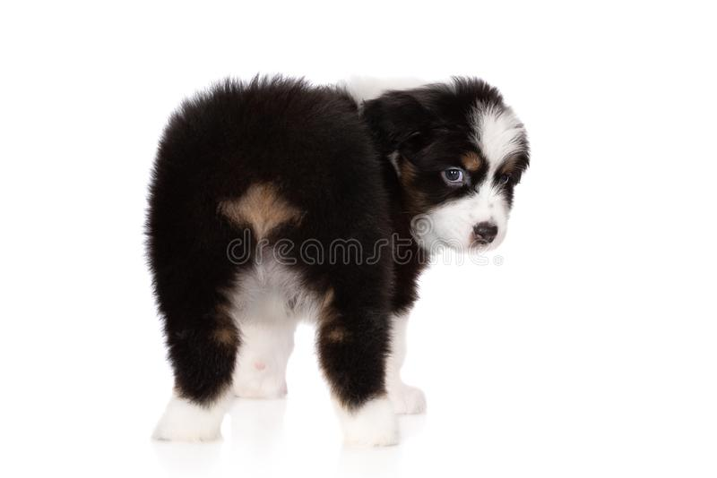 Perrito australiano del pastor que presenta en blanco fotos de archivo