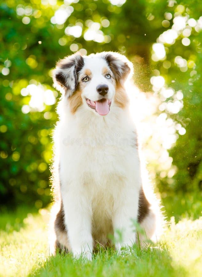 Perrito australiano del pastor que se sienta en hierba verde fotos de archivo libres de regalías