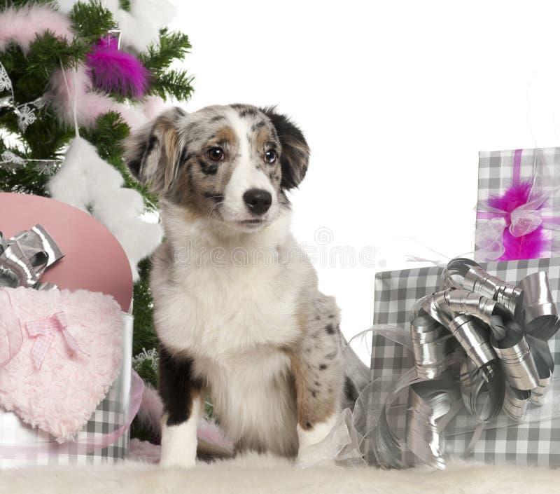Perrito australiano miniatura del pastor, 5 meses imagen de archivo libre de regalías