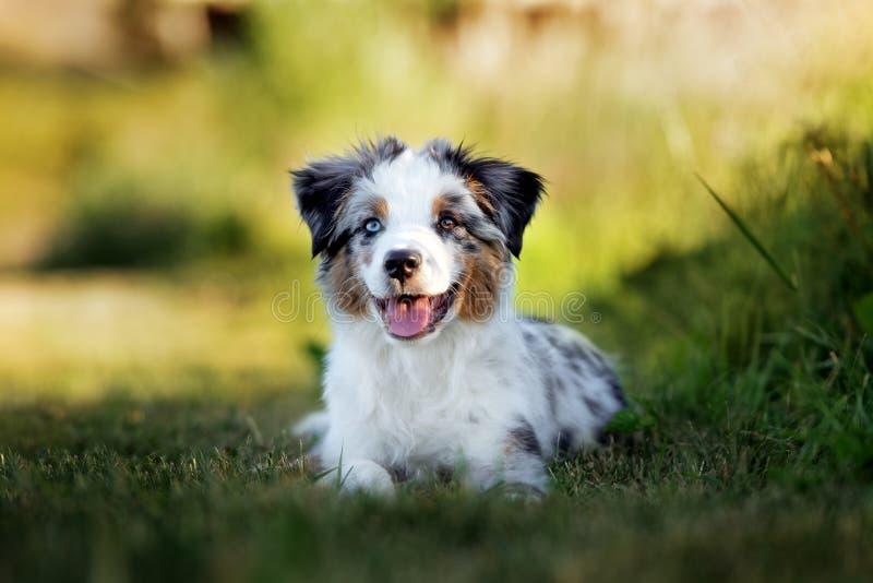Perrito australiano miniatura del pastor al aire libre en verano foto de archivo