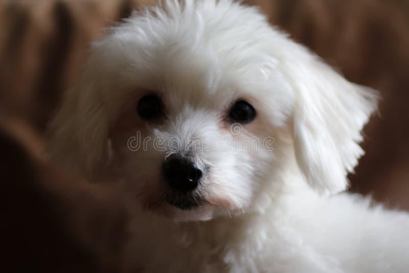 Perrito blanco imágenes de archivo libres de regalías