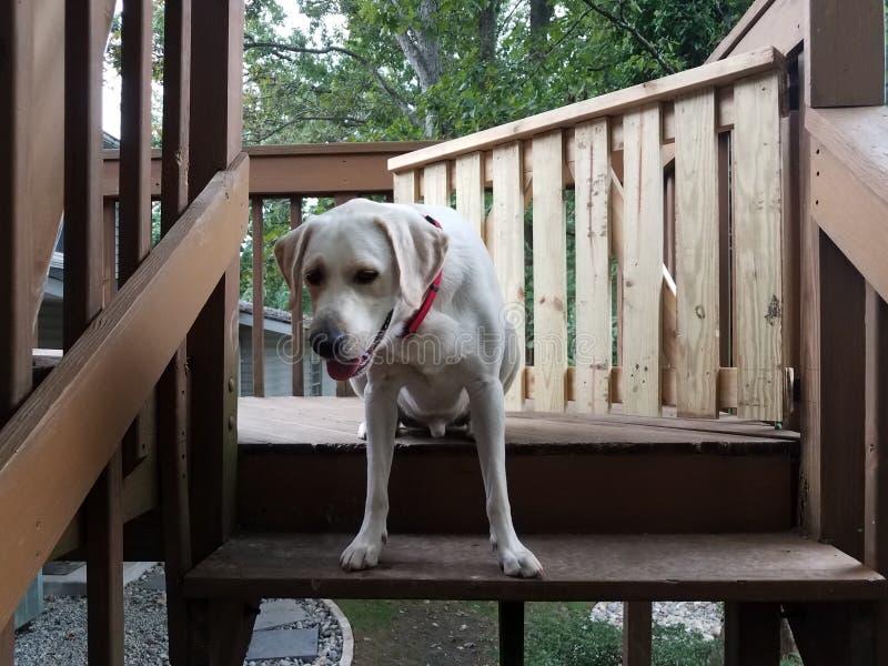 Perrito blanco con el cuello rojo en la cima de las escaleras de madera imágenes de archivo libres de regalías