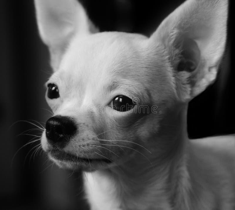 Perrito blanco de la chihuahua imagen de archivo