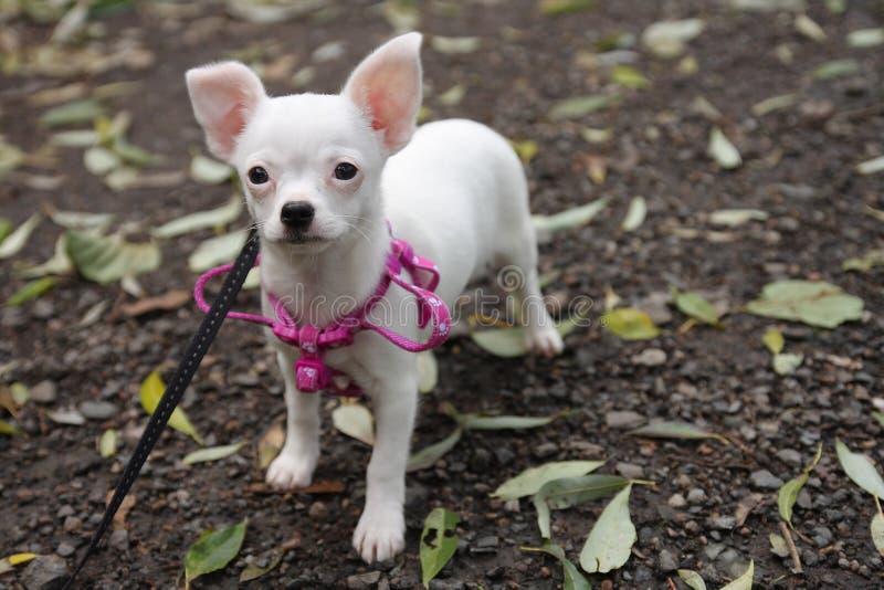 Perrito blanco de la chihuahua en bosque del otoño imagenes de archivo