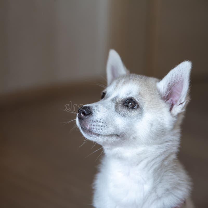 Perrito blanco del husky siberiano que se sienta en sitio imágenes de archivo libres de regalías