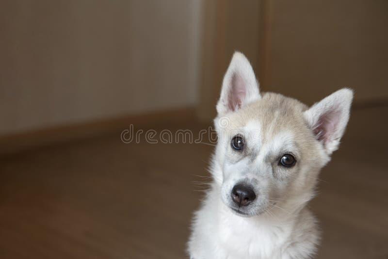 Perrito blanco del husky siberiano que se sienta en sitio imagenes de archivo
