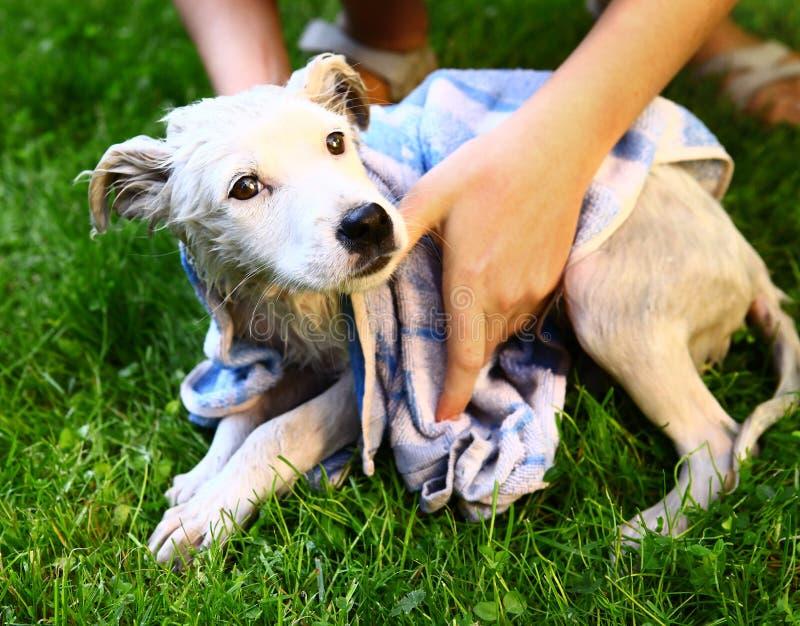 Perrito blanco del perro que es lavado con la toalla mojada imágenes de archivo libres de regalías
