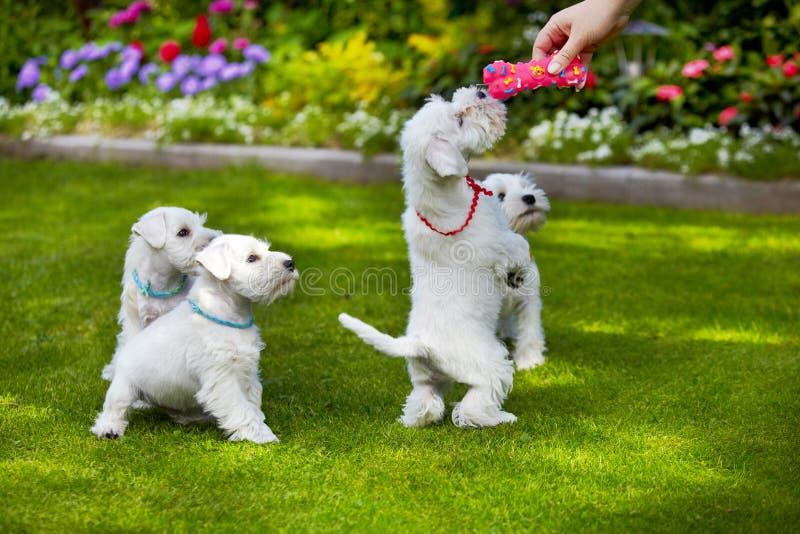Perrito blanco del schnauzer miniatura fotografía de archivo libre de regalías