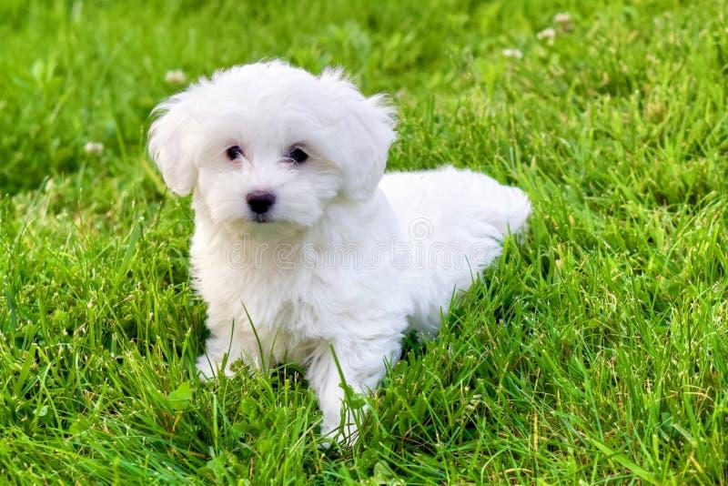 Perrito blanco lindo de Bichon que se sienta en hierba fotografía de archivo