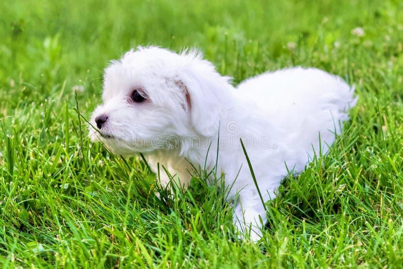 Perrito blanco lindo de Bichon que se sienta en hierba en verano imagen de archivo
