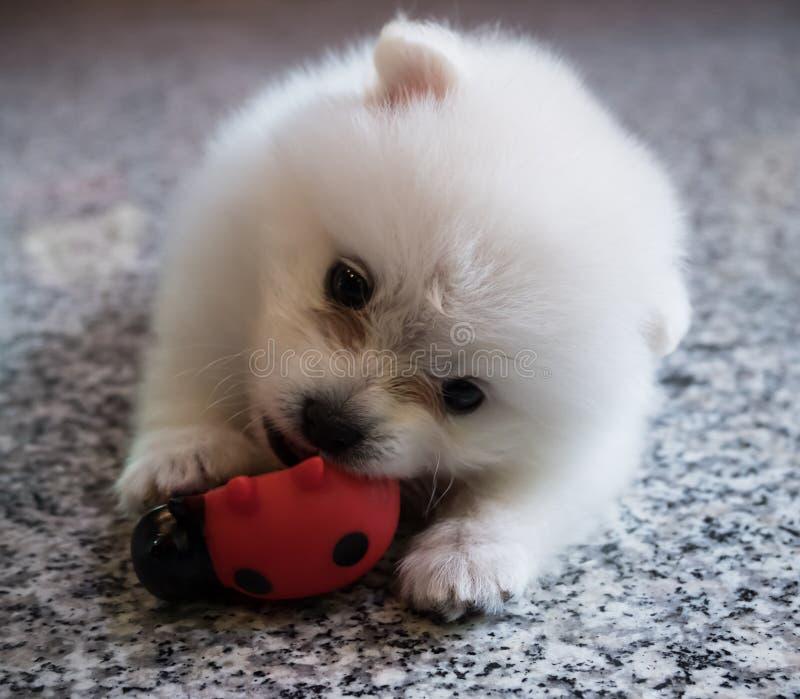 Perrito blanco lindo de Pomeranian en fondo del granito imagen de archivo