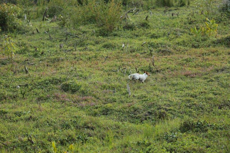 Perrito blanco que juega en el prado verde imagenes de archivo