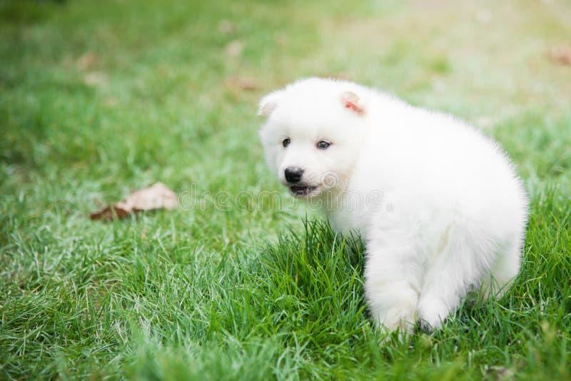 Perrito blanco que miente en hierba verde fotografía de archivo