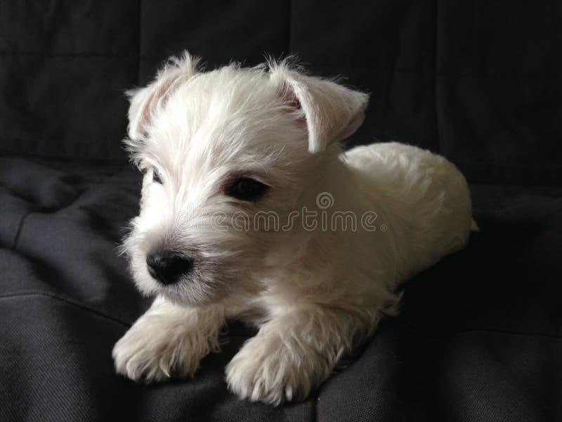Perrito blanco que pone en el sofá oscuro imágenes de archivo libres de regalías