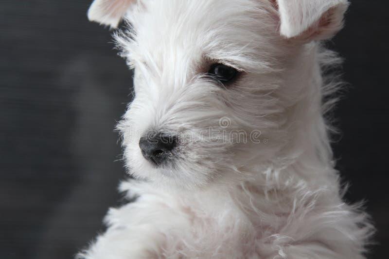 Perrito blanco que pone en el sofá oscuro fotografía de archivo