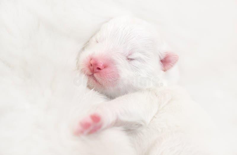 Perrito blanco recién nacido ciego Perro del samoyedo fotografía de archivo