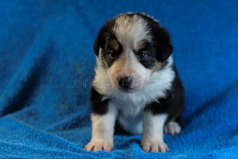 Perrito blanco y negro del border collie imagen de archivo