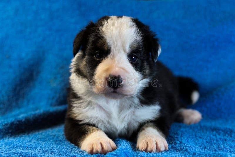 Perrito blanco y negro del border collie foto de archivo libre de regalías
