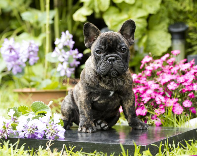 Download Perrito Blanco Y Negro Hermoso Del Dogo Imagen de archivo - Imagen de adorable, hierba: 100528537