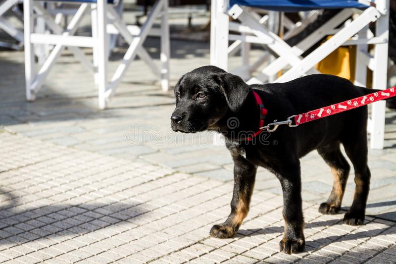 Perrito bonito con un cuello rojo que se coloca al aire libre imagenes de archivo
