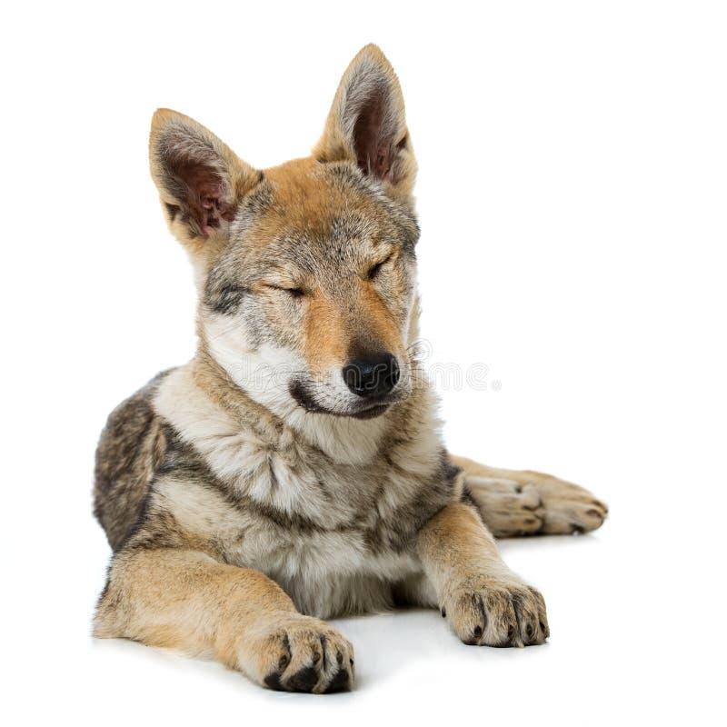 Perrito checoslovaco del wolfdog fotos de archivo libres de regalías