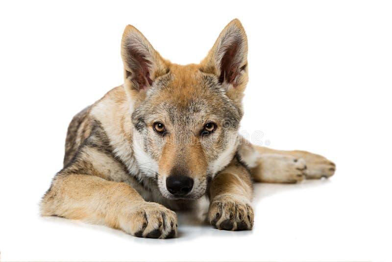Perrito checoslovaco del wolfdog imagen de archivo