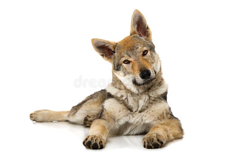 Perrito checoslovaco del wolfdog imagenes de archivo