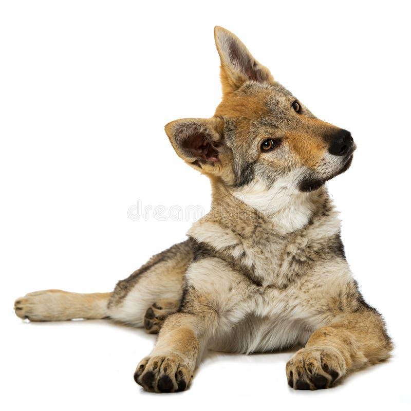 Perrito checoslovaco del wolfdog imágenes de archivo libres de regalías