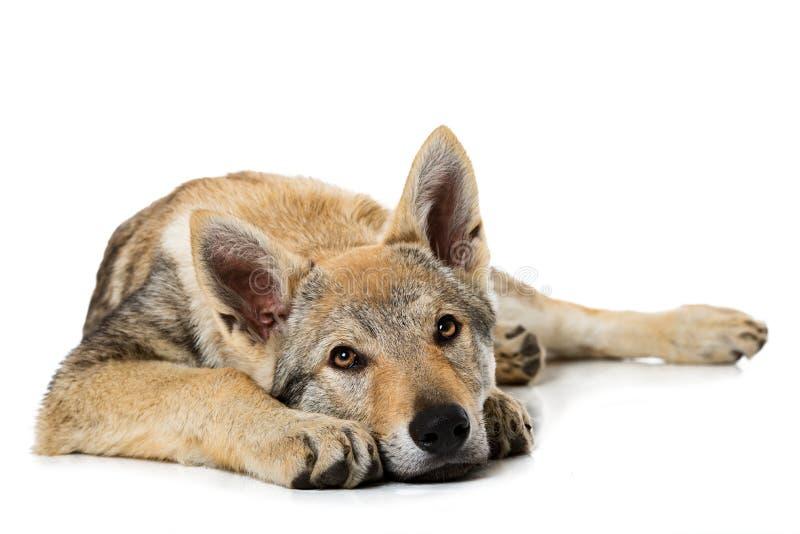 Perrito checoslovaco del wolfdog fotografía de archivo libre de regalías